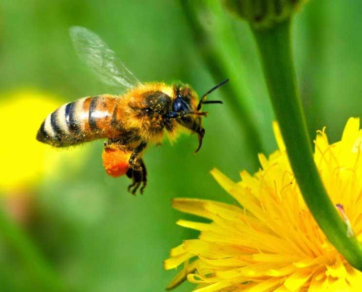 как снизить вес в домашних пчел