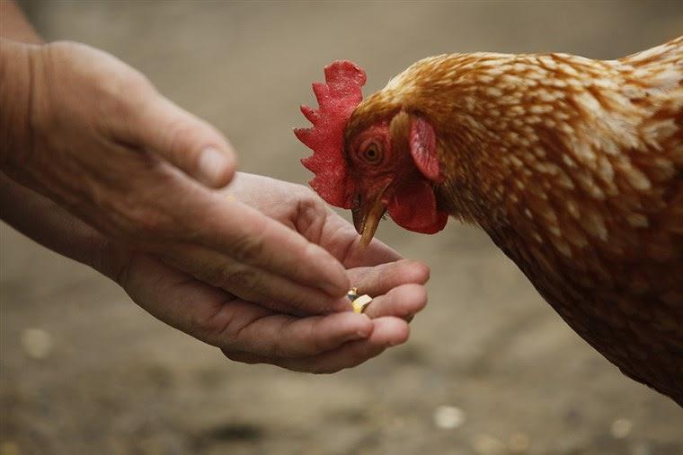 что такое куриное яйцо